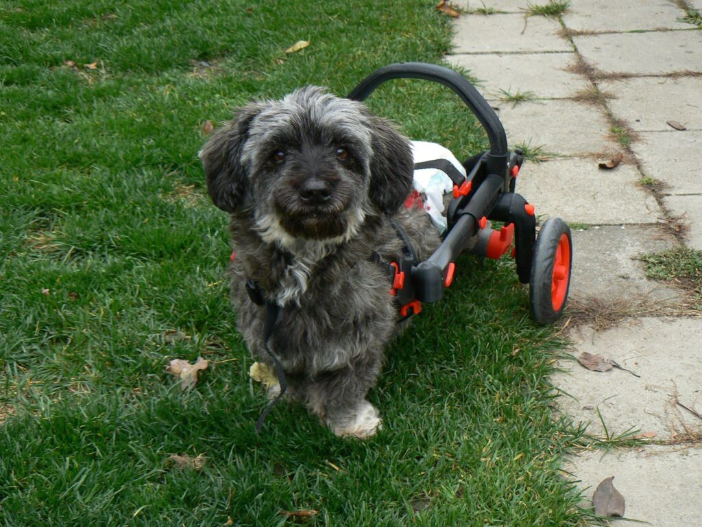 dog in a wheelchair, anyonego cart for handicapped dogs