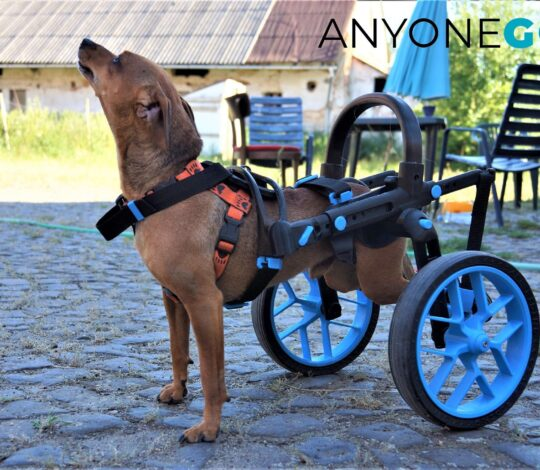 dog in a wheelchair, anyonego wheelchair for dogs, cart for handicapped dogs