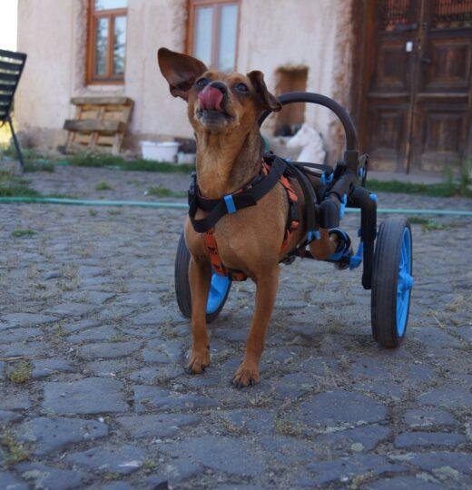 hendikepovaný pes, vozík anyonego, invalidní vozík pro psy