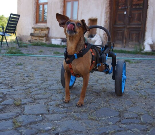 dog with handicap, anyonego wheelchair, dog in a wheelchair