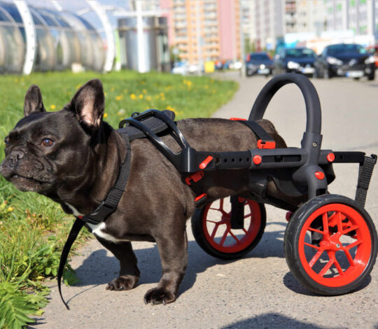 dog in anyonego wheelchair, wheelchair for dogs