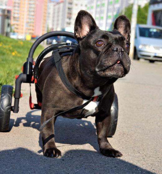 invalidní vozík pro psy, chodítko pro psy, ochrnutý pes