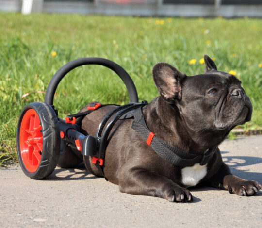 anyonego dog wheelchair, wheelchair for dog with folding wheels, dog wheelchair with red details