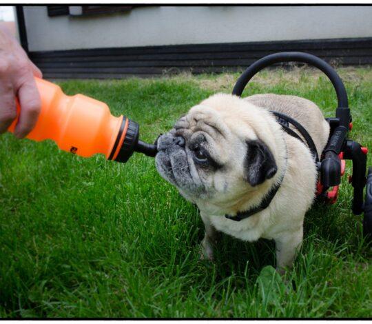 wózek dla psa, pies w wózku