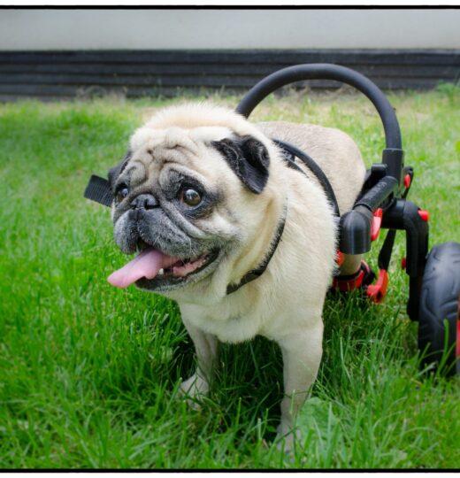 ochrnutý buldoček, vozíček anyonego