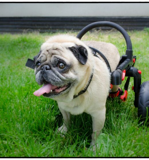 Mops im Rollstuhl