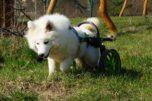 pes ve vozíku, invalidní vozík pro psy