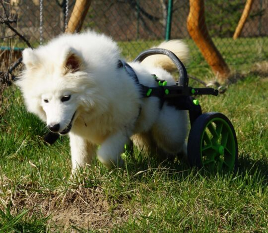 dog in a wheelchair, cart for dogs with hind legs handicap