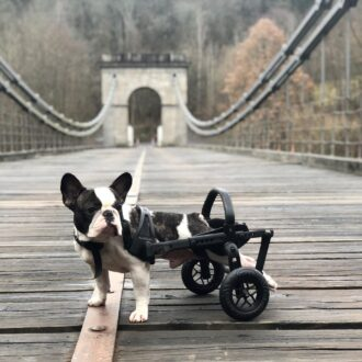 vozík anyonego, hendikepovaný pes