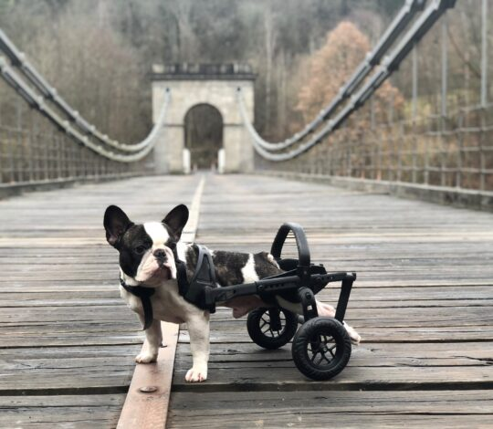 anyonego wheelchair, handicapped dog in a wheelchair