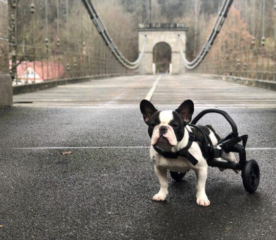 handicapped small bulldog, bulldogs hing legs not working