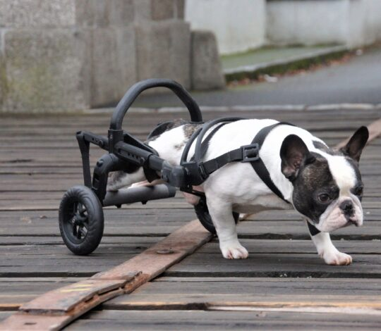 dog with hind legs paralyzed, , small bulldog in a wheelchair, paralyzed small bulldog