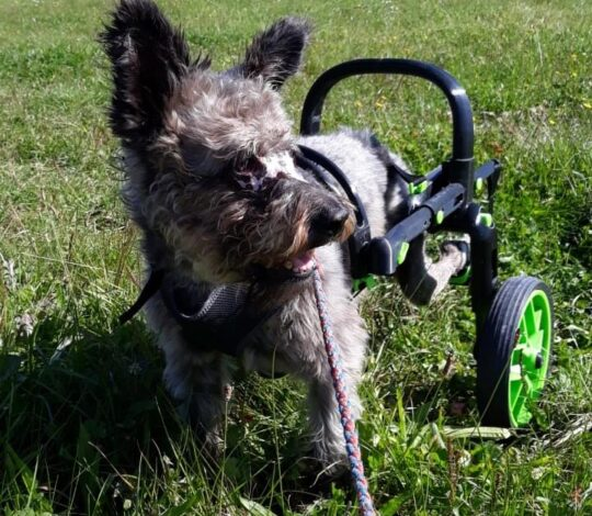 cart for dogs, dog with hind legs handicap