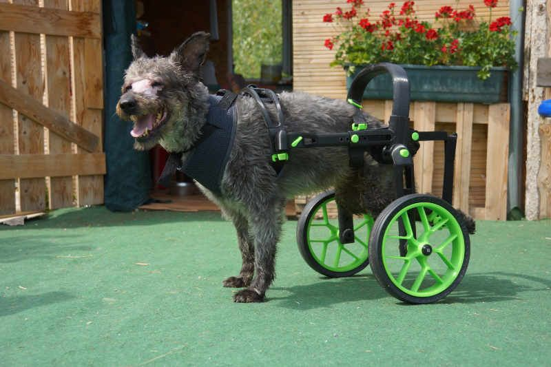 wheelchair for dogs, handicapped dog, green accesories on dogs wheelchair, anyonego cart in green