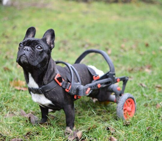 cart for dogs, anyoego, red accessories, dog in a wheelchair, french bulldog in a wheelchair