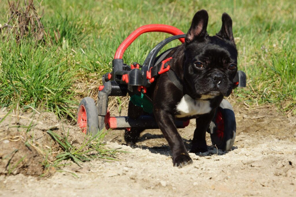dog in a wheelchair, handicapped dog, anyonego wheelchair