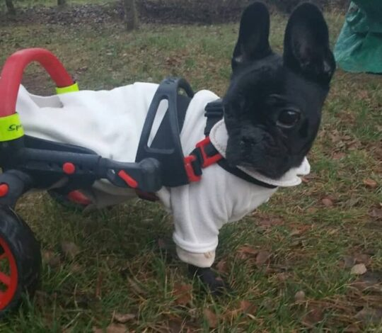 wheelchair for handicapped dog