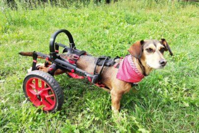 vozík pro psy, červené doplňky, chodítko pro psy