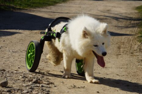 anyonego wheelchair in middle size, wheechair for dogs, dog with handicap, cart for dogs with green accessories