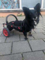 dog in a wheelchair, anyonego wheelchair for dogs