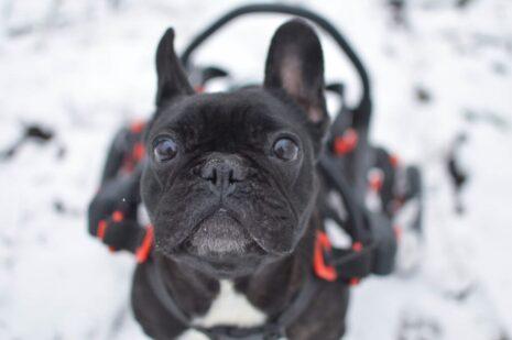 hendikepovany pes, pes na vozíku