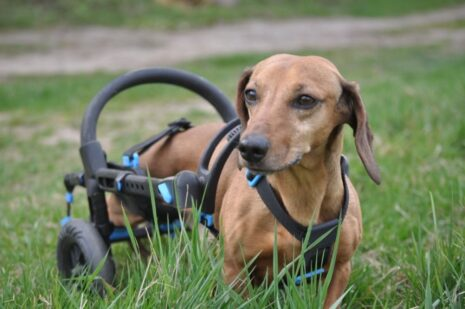 Dachshaund in a wheelchair, Dachshaund with handicap, anyonego dog wheelchair