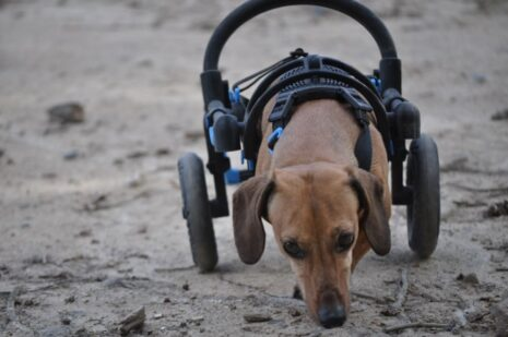 dog in a cart, cart for handicapped dog, cart for Dachshaund with handicapped hing legs