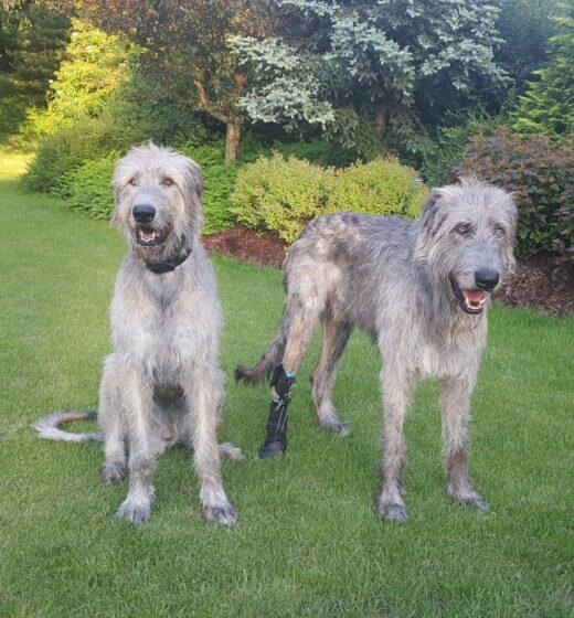 pes, vlkodav, ortézy pro psa
