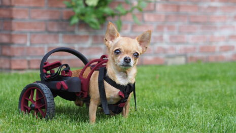 cihuahua, handicapped chihuahua, small dog in a wheelchair, anyonego wheelchair in nano size