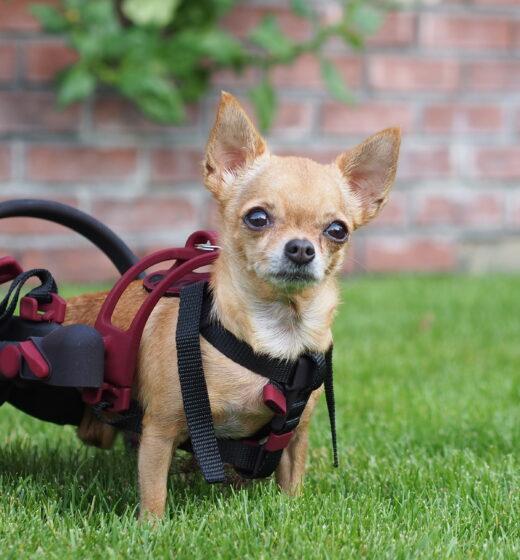 čivava, vozík pro psa, nano vozík anyonego