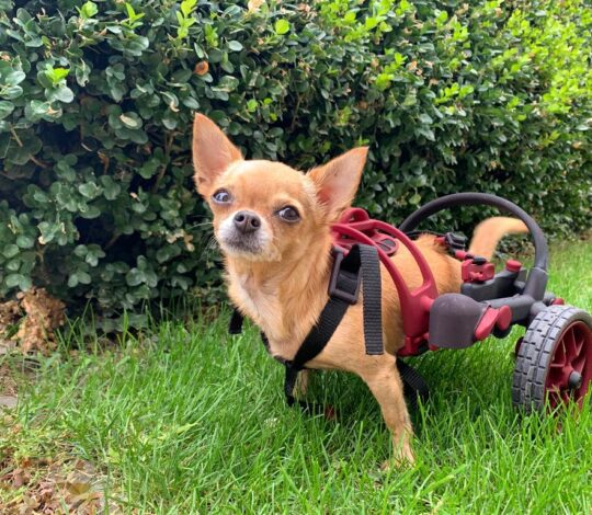 AnyoneGo wheelchaie in nano size, chihuahua in a wheelchair, handicapped tiny dog
