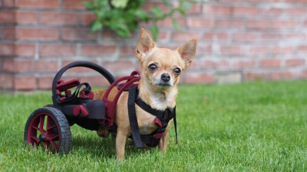 dog in a wheelchair, anyonego nano size