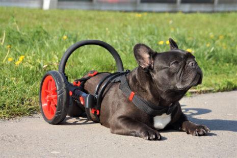 ochrnutý buldoček, pes ve vozíku